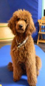 Therapiehund Belisa
